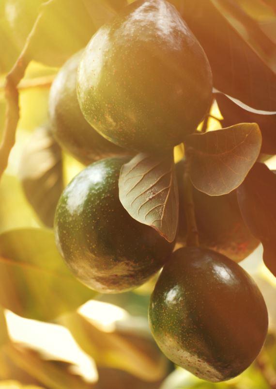 cultivar-arbol-aguacate